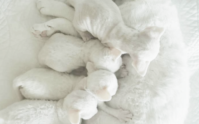 We are proud to introduce to you this beautiful Litter C – 4 Snowflakes!