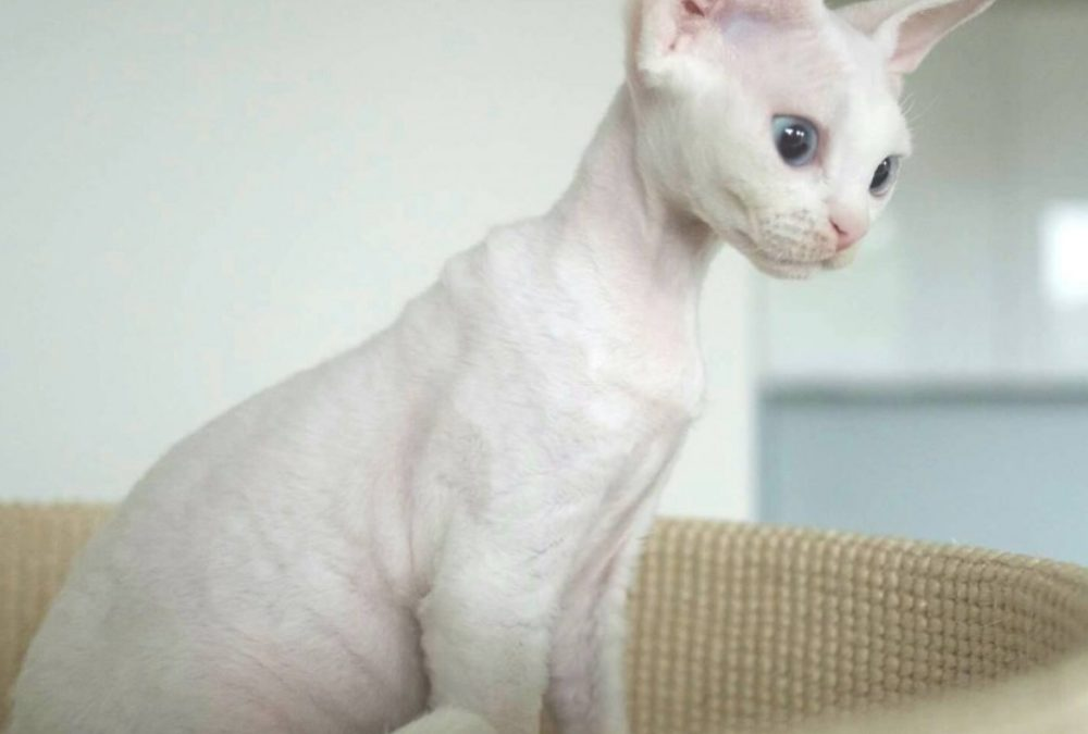 """Our 5 Month Old White Kittens (Litter """"C"""") Can Pride Themselves on Their First Success at Cat Shows : )"""