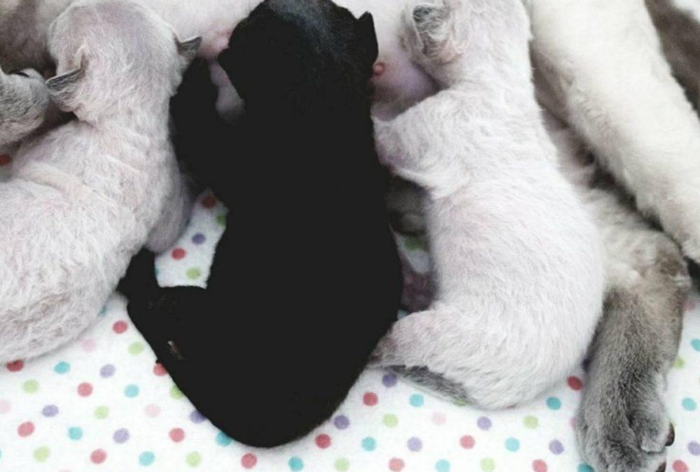 CH Victoria i je słodkie maluchy- miot F : )