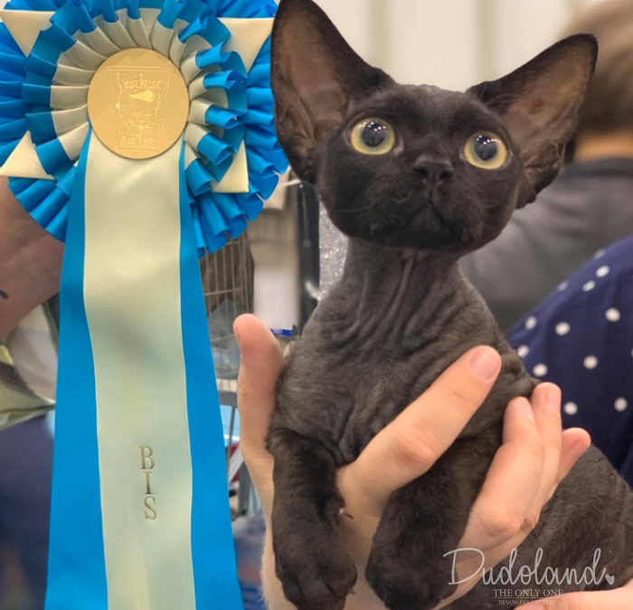 FIFE Cat Show (Vestkystkattens) / Norway 10-11.08.2019